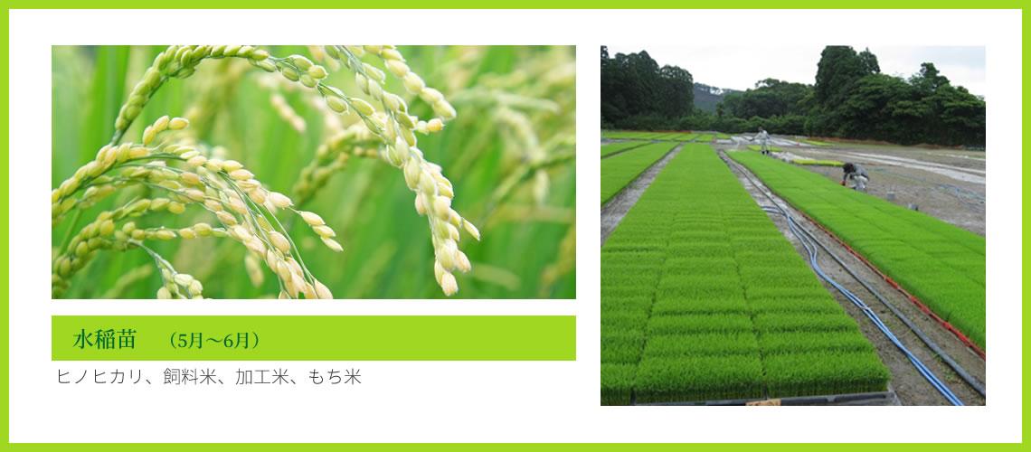 水稲苗 (5月~6月)ヒノヒカリ、飼料米、加工米、もち米